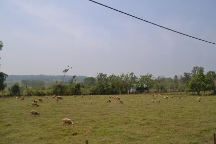 "The awesome sheeps pasture scenery near guest house ""Wisma Tamu"""